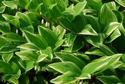 Variegated Solomons Seal Great Shade Garden Plant