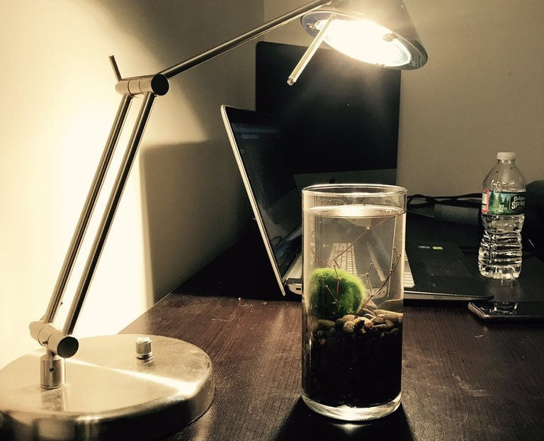 Should You have a Moss Ball Terrarium in Your Office?