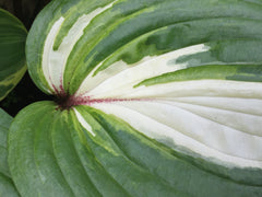 Image of Hosta 'Raspberry Sundae' - Plantain lily variety