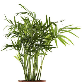 Bamboo Palm Live Plant | SpreeIndia.com - India's First Website That Discovers Eco-Friendly Products