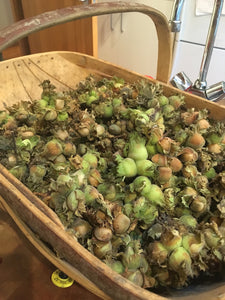 Hazelnut Harvest