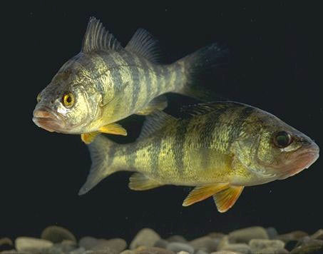 Yellow Perch (from the skies)