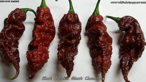 Bhut Jolokia (Ghost) Giant Chocolate - Pepper Seeds - White Hot Peppers