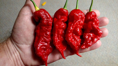 Jay's Red Ghost Scorpion - Pepper Seeds - White Hot Peppers