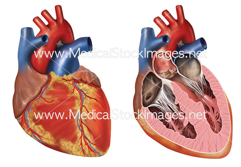 Anatomy of Heart in Anterior View
