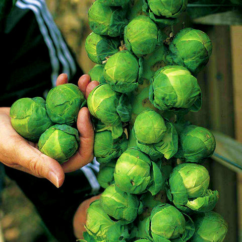 Brussels Sprout Seeds - Long Island Improved (200 Seeds)