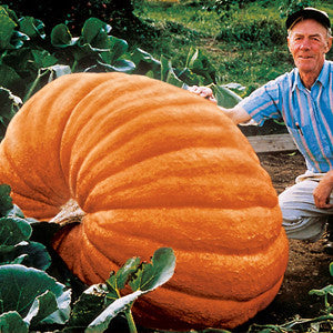 Dill's Atlantic Giant Pumpkin (15 seeds)