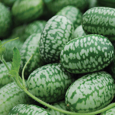 Mexican Mini Sour Gherkins aka Cucamelons or Mexican Mini Watermelons (15 seeds)