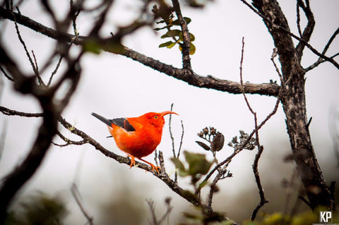 Big Island Iiwi Bird - Hawaiipictures.com