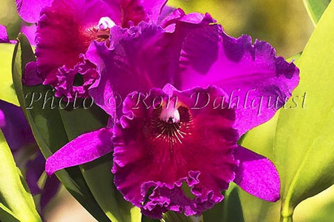 Purple Cattleya orchid Picture