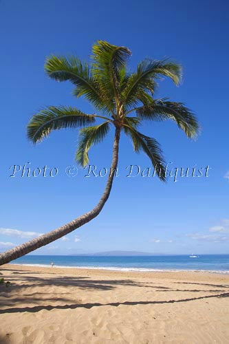 Coconut palm, Kamaole Beach One, Kihei, Maui, Hawaii - Hawaiipictures.com
