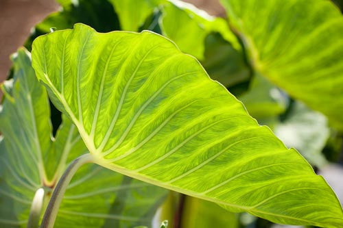 Close-up of Taro leaf, Hawaii Picture - Hawaiipictures.com