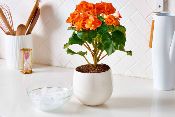 Water house plants using ice cubes