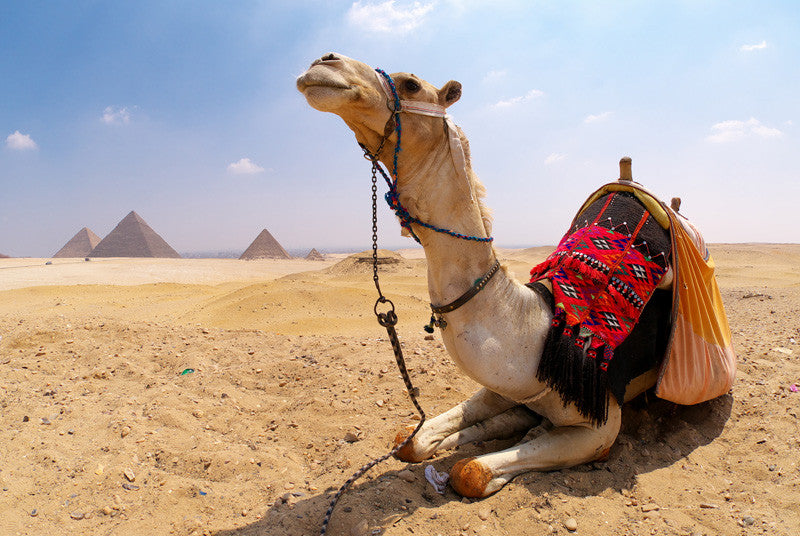 Camel and Pyramids Wire Wall Mural