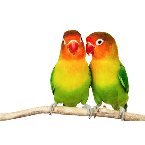 Pair of Love birds Wall Mural