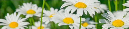 Chamomile flowers are known throughout the world for their relaxing properties.