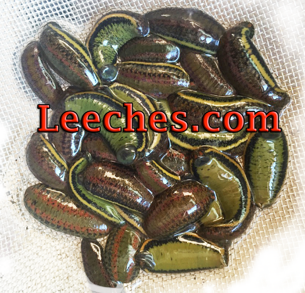Wholesale Leech