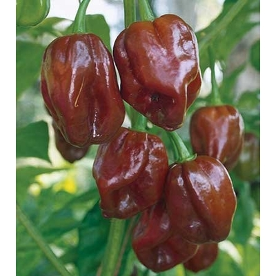 Chocolate Habanero Pepper Plant - Two Plants --  500K Scoville!