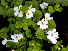 Bacopa Benefits: A Natural Herb for boosting brain health and memory