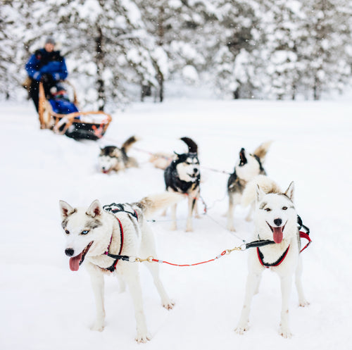 Dog sledding on our all inclusive Arctic Tour