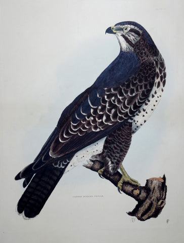 Prideaux John Selby (1788-1867), Common Buzzard Female Plt VI