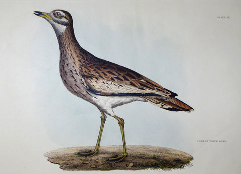 Prideaux John Selby (1788-1867), Common Thick Knee Plt XL