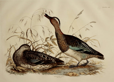 Prideaux John Selby (1788-1867), Garganey Teal Male & Female Plt LIII