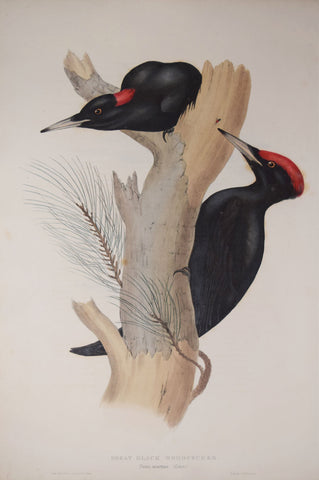 John Gould (1804-1881), Great Black Woodpecker