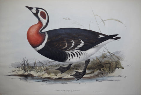 John Gould (1804-1881)  Red-breasted Goose