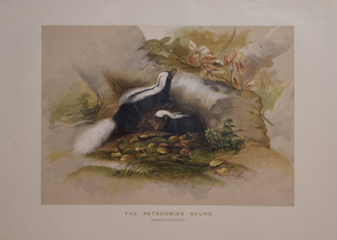 Joseph Wolf (1820-1899), The Patagonian Skunk