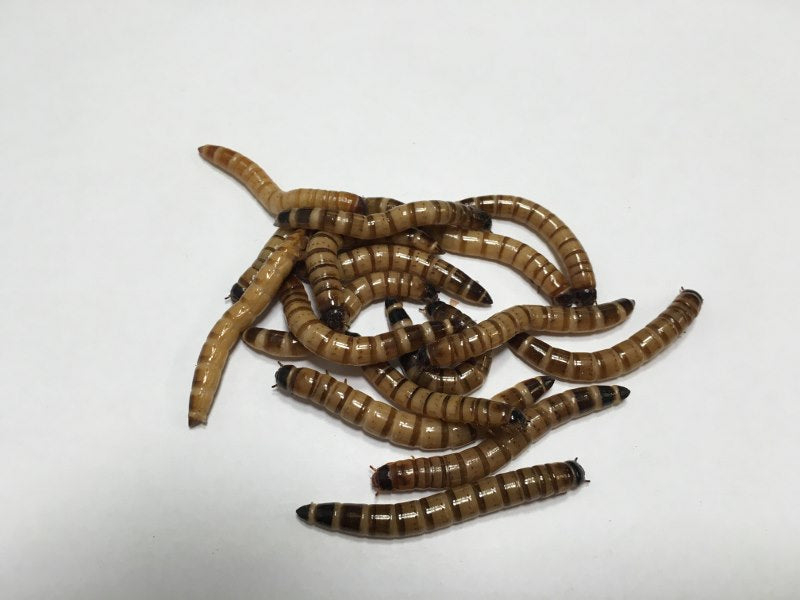 1000 ct Large Superworms