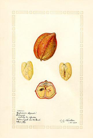 Ackee - 1924 - Fruit Illustration Poster