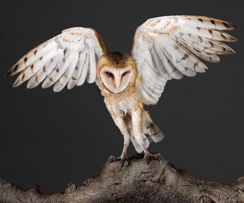 Garbo the Barn Owl