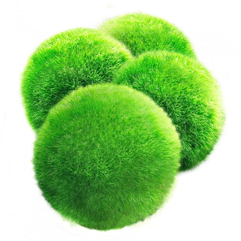 Luffy Giant Marimo Moss Ball - Stock Clearance Sale