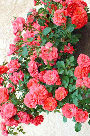 Drift Groundcover Rose Coral (bush, rose, ornamental, fragrant, coral flowers)