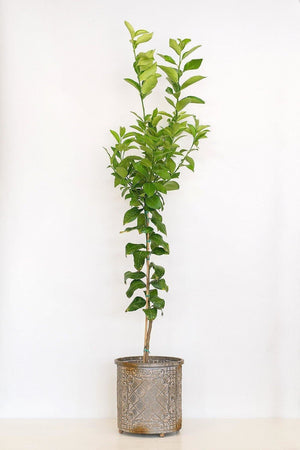 Dwarf Meyer Lemon Tree, Orange Hybrid Citrus (Excludes: CA,TX,LA,AZ)