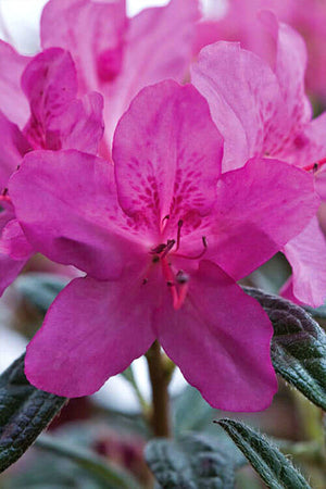 Encore Azalea Autumn Amethyst (ornamental, bush, purple blooms, green foliage)