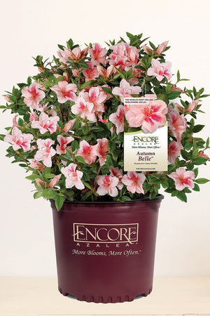 Encore Azalea Autumn Belle (ornamental, bush, shrub, pink blooms, green foliage)