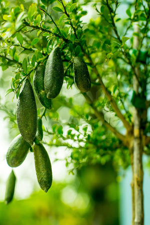 Finger Lime Tree, Australian Green Citrus (Excludes: CA,TX,LA,AZ)