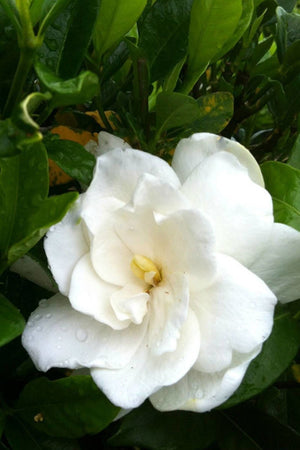August Beauty, Gardenia (bush, hedge, green foliage, white blooms fragrant)