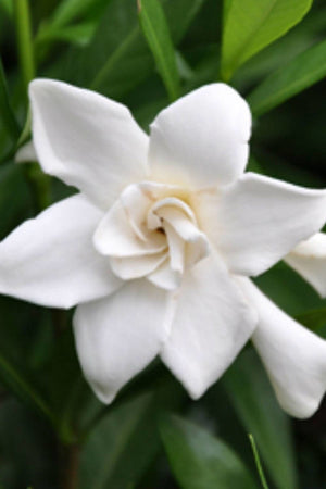 Frost Proof, Gardenia (bush, hedge, green foliage, white blooms fragrant)