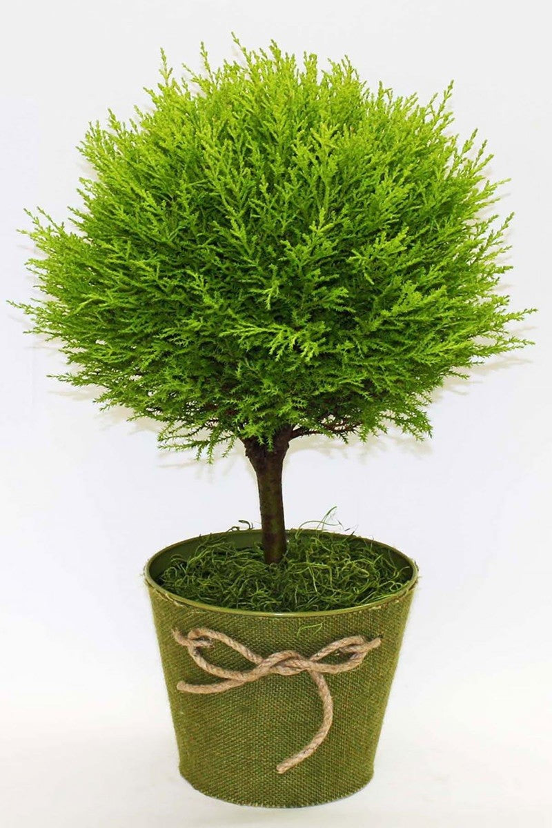 Lemon Cypress Goldcrest Topiary Tree