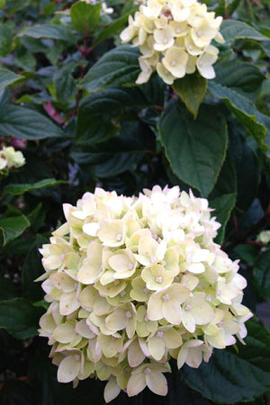 Proven Winners Little Lime Hardy Hydrangea (butterfly bush, green pink flowers)