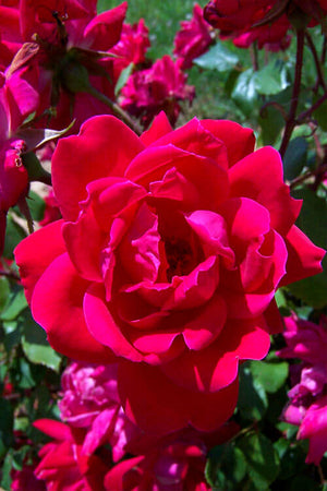Red Double Knock Out Rose (ornamental, bush, fragrant, red flowers)
