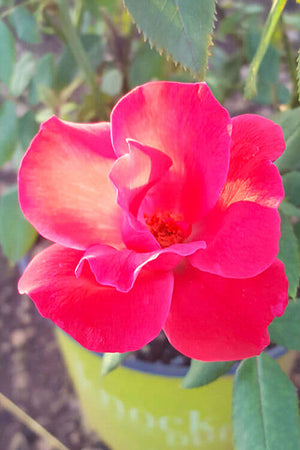 Knock Out® Rose, Rosa 'Radrazz' PP#11836 CPBR#0993