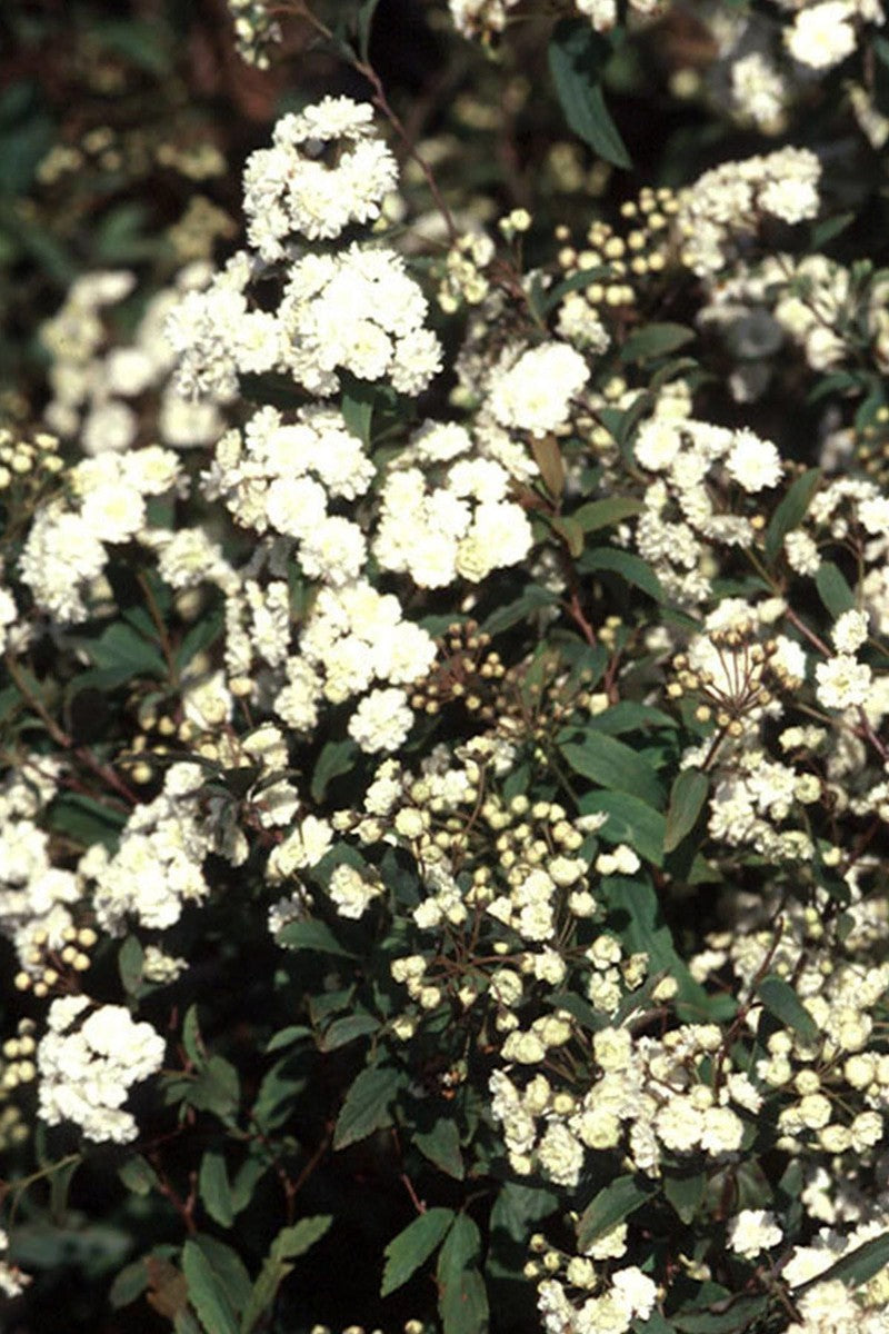 Reeves Spiraea Bridal Wreath (ornamental, bush, green foliage, white flowers)