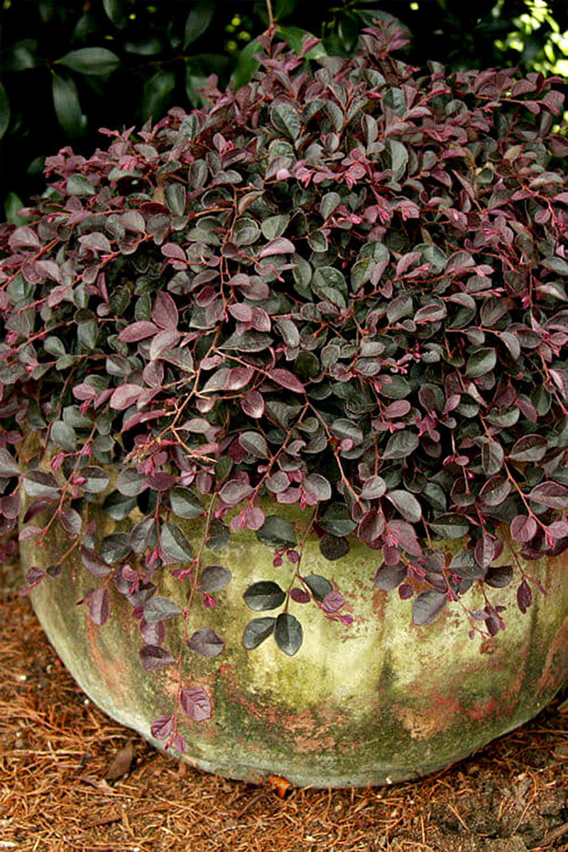 Southern Living Loropetalum Purple Pixie (bush, purple foliage, pink blooms)