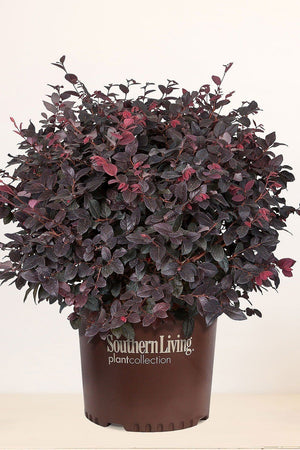 Southern Living Loropetalum Red Diamond (landscape, purple foliage, red blooms)