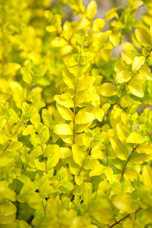Southern Living® Plant Collection Sunshine Ligustrum