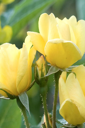 Sunny Knock Out Rose (ornamental, landscape, bush, green foliage, yellow flower)